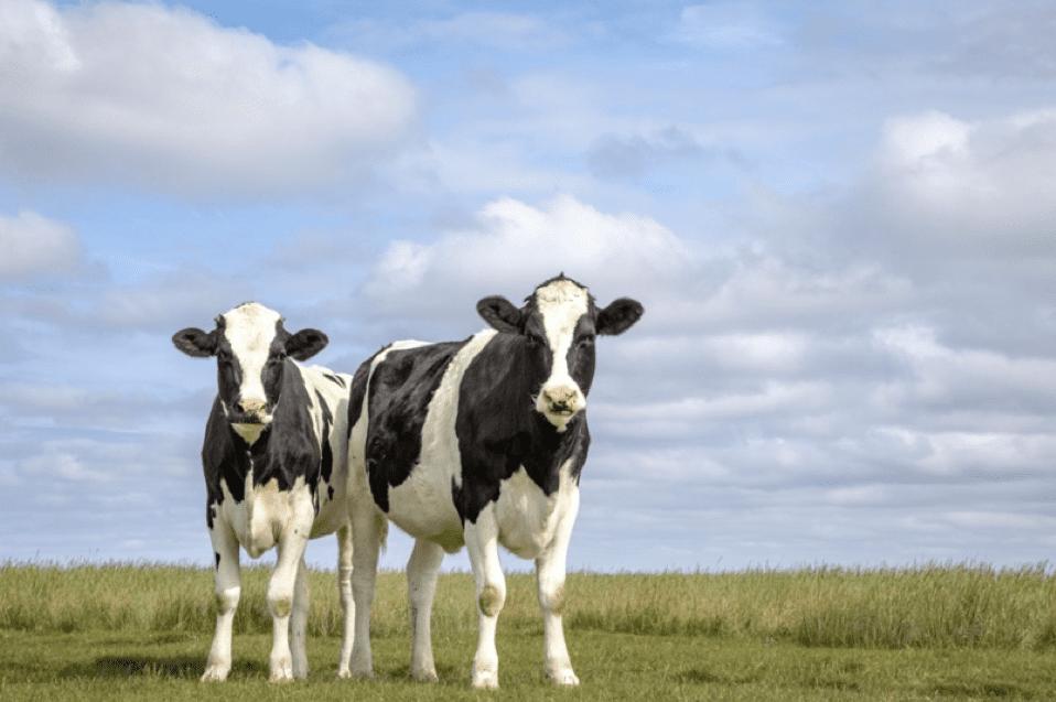 animal welfare - cattle - minerals