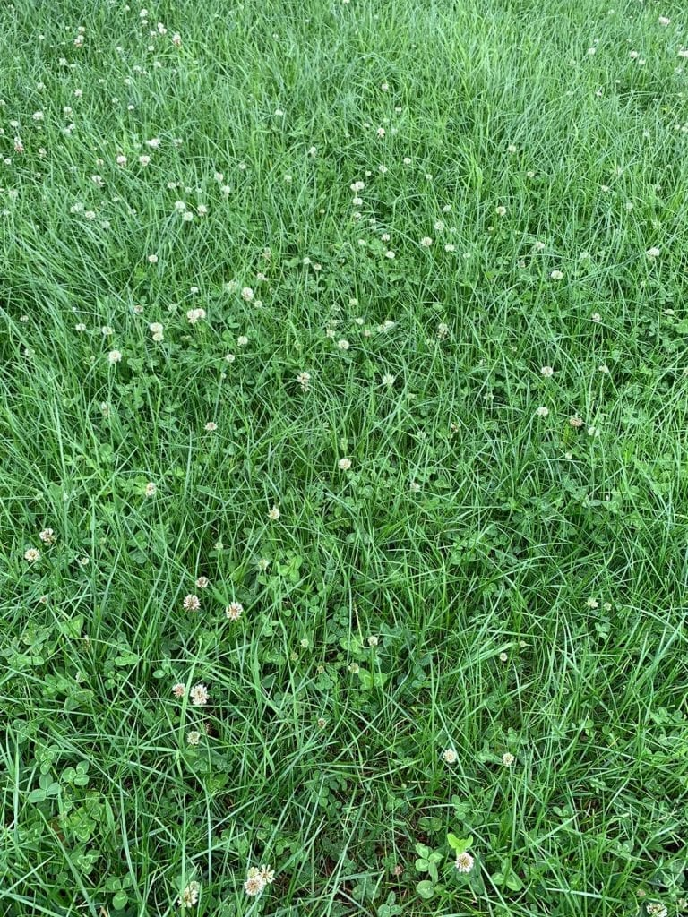 Clover Grass. Cows, Bloat Oil